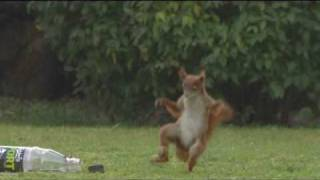 Squirrel playing football